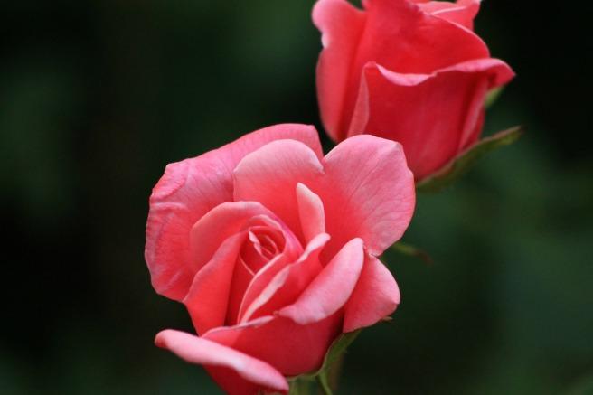 rose-140853_1920.jpg